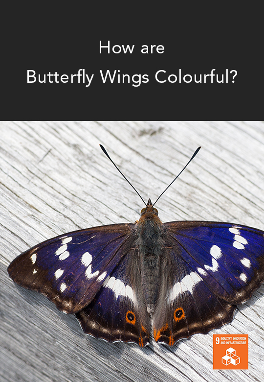 Understanding the Wing Patterns of the Great Purple Emperor Butterfly