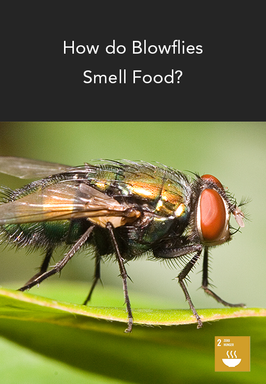 Visualizing the Scent-related Organs of a Blowfly