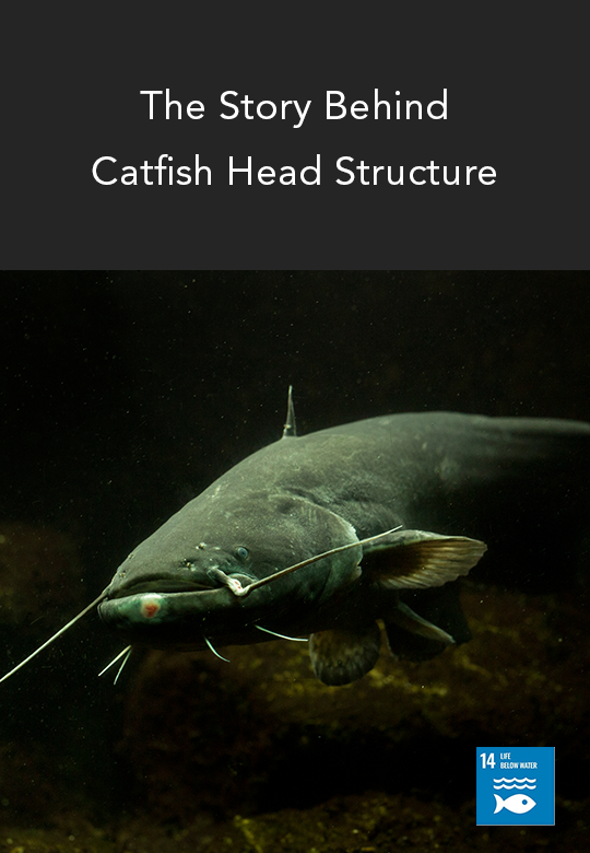 Molecular View of the Catfish Craniofacial Sensory Structure Development